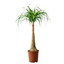 Растение в горшке BEAUCARNEA RECURVATA артикуль № 501.604.68 в наличии. Интернет каталог IKEA Минск. Недорогая доставка и соборка.