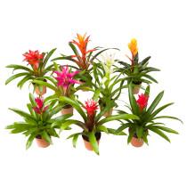Растение в горшке BROMELIACEAE артикуль № 102.546.85 в наличии. Online сайт IKEA РБ. Быстрая доставка и монтаж.