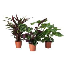 Растение в горшке CALATHEA артикуль № 102.588.29 в наличии. Онлайн магазин IKEA Минск. Недорогая доставка и установка.
