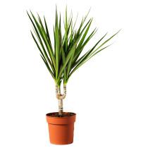 Растение в горшке DRACAENA МARGINATA артикуль № 801.771.70 в наличии. Интернет каталог IKEA Беларусь. Недорогая доставка и монтаж.