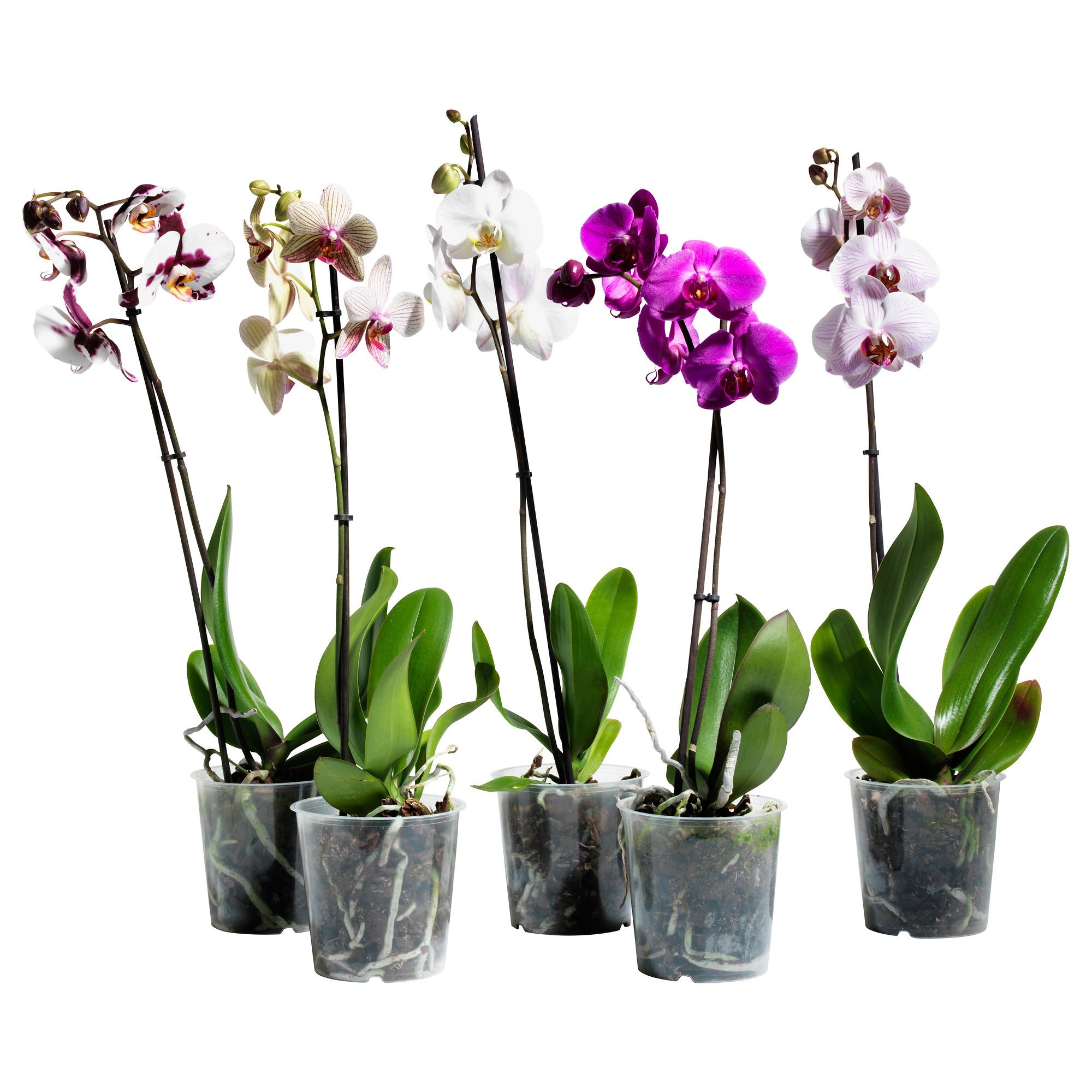 Фото цветка орхидея в горшке