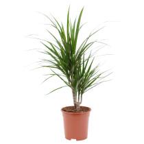 Растение в горшке DRACAENA МARGINATA артикуль № 302.620.76 в наличии. Интернет каталог IKEA РБ. Быстрая доставка и монтаж.