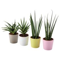 Комнатное растение в горшке SANSEVIERIA разные цвета артикуль № 703.719.07 в наличии. Онлайн каталог ИКЕА РБ. Быстрая доставка и монтаж.
