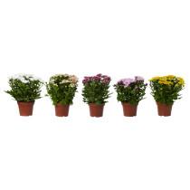 Растение в горшке CHRYSANTHEMUM разные цвета артикуль № 503.512.98 в наличии. Интернет магазин IKEA Беларусь. Недорогая доставка и соборка.