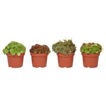 Растение в горшке SEMPERVIVUM артикуль № 003.505.12 в наличии. Интернет сайт IKEA Минск. Быстрая доставка и соборка.