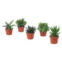 Растение в горшке СУККУЛЕНТЫ артикуль № 803.646.66 в наличии. Интернет сайт IKEA Республика Беларусь. Недорогая доставка и монтаж.