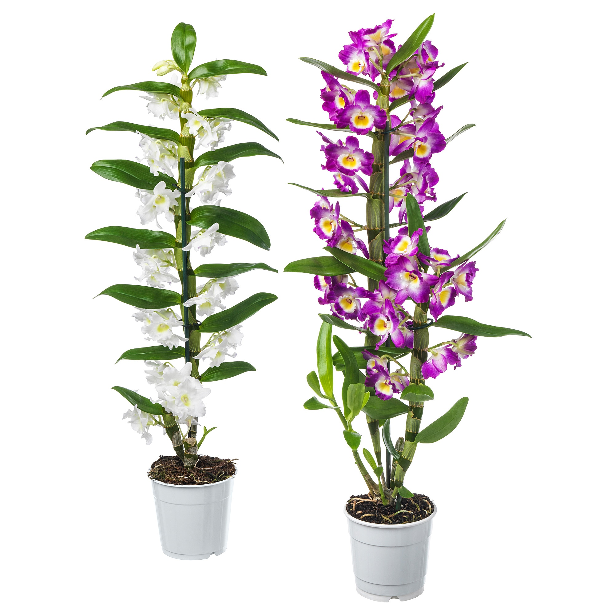 Растение в горшке ОРХИДЕЯ артикуль № 803.719.21 в наличии. Интернет каталог IKEA РБ. Недорогая доставка и монтаж.