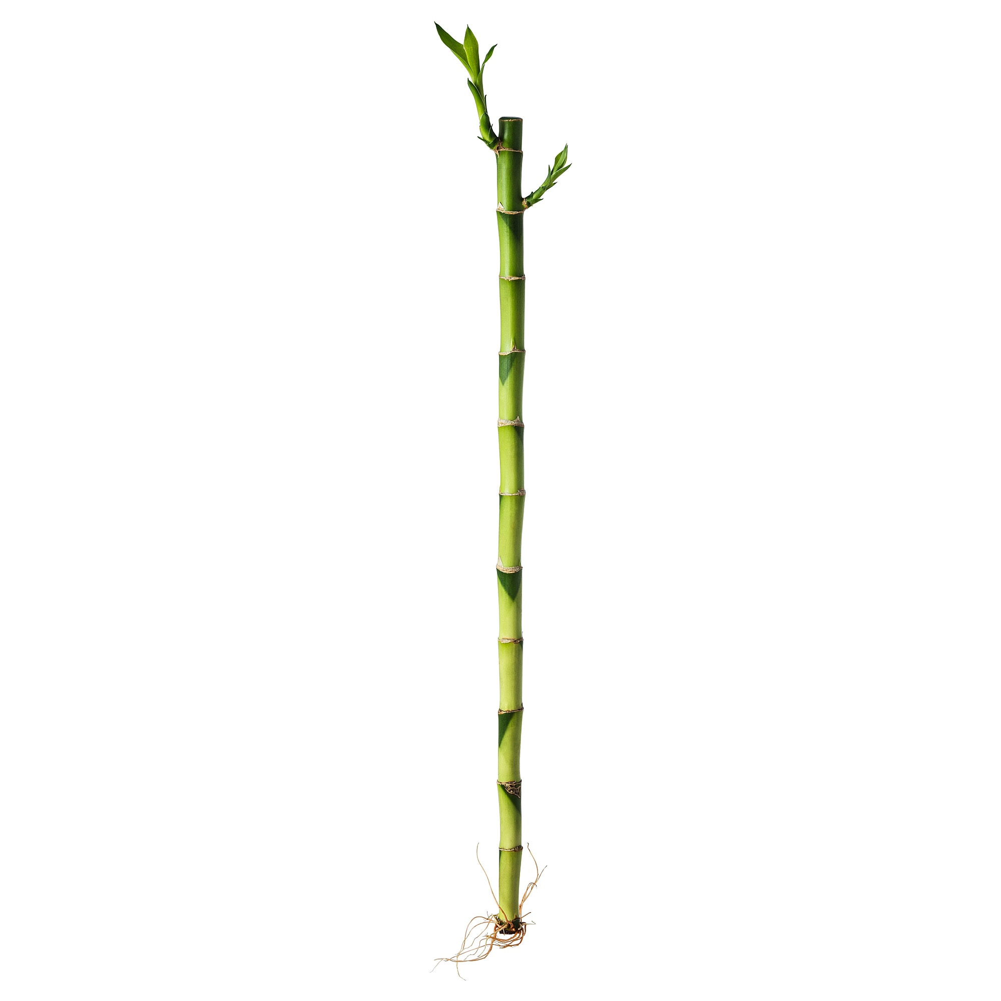 Купить Растение ДРАЦЕНА, Драцена Сандера в IKEA (Минск). Цена, фото и отзывы. Официальный сайт интернет магазина. Быстрая