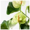 Растение в горшке АНТУРИУМ артикуль № 503.804.08 в наличии. Онлайн магазин ИКЕА РБ. Быстрая доставка и монтаж.