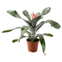 Растение в горшке ЭХМЕЯ артикуль № 103.927.43 в наличии. Онлайн сайт ИКЕА РБ. Быстрая доставка и монтаж.