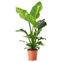 Растение в горшке СТРЕЛИЦИЯ артикуль № 504.284.05 в наличии. Online магазин IKEA Беларусь. Недорогая доставка и соборка.